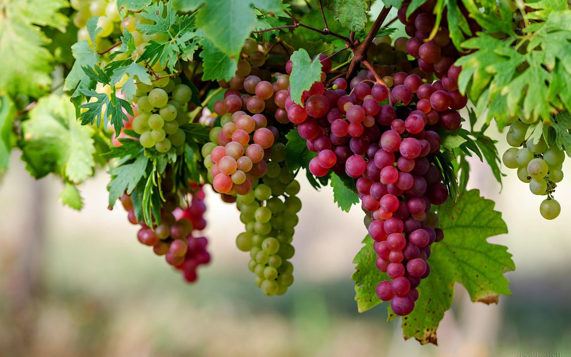 Kultivimi i vreshtave të rrushit, një biznes në rritje në Shqipëri