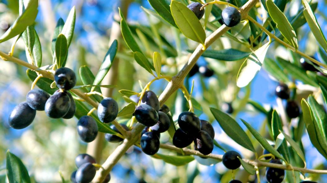 Gjethet e ullirit/ Mënyrat e përdorimit për shëndetin e zemrës dhe të trurit